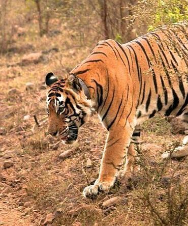 sariska-tiger